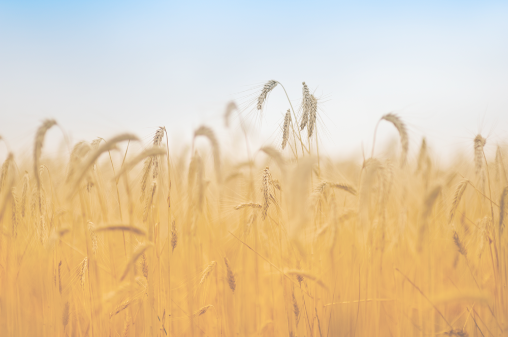 color_wheat